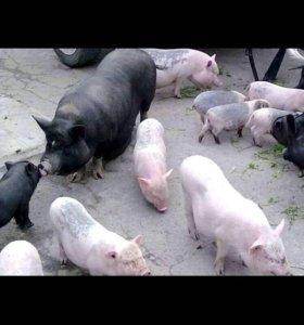 Вьетнамцы Свиньи
