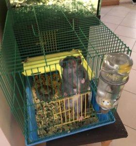 Крысы ручные декоративные