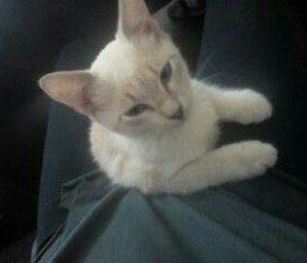 Сиамская мраморная кошка