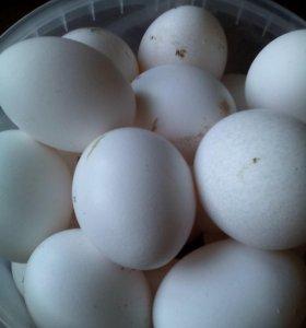 Продам домашнее яйцо
