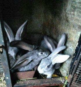 Крольчата от 1 месяца, шкурки кроликов