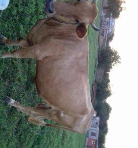 Продам корова дойная