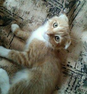 Котёнок вислоушка