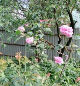 Саженцы розы