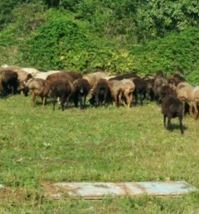 Овцы на курман 50 голов