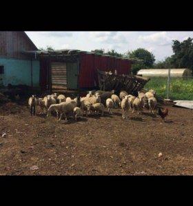 Овцы и барашки