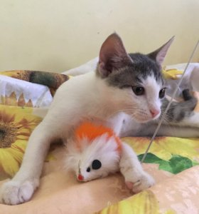 Девочка метис абиссинской кошки! В дар