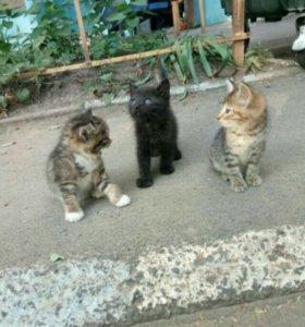 Полу-ШОТЛАНДСКИЕ котятки в ДАР