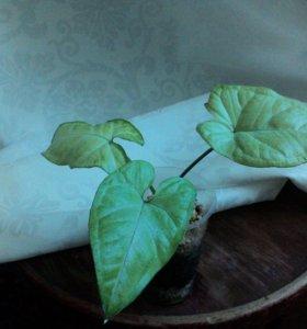 Комнатное растение, сингониум Сильвер Перл