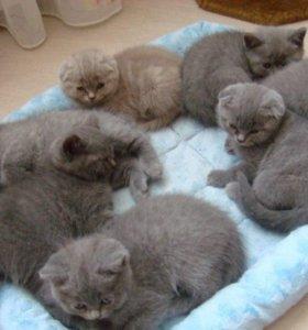 Вислоухие элитные котята породы Шотландская