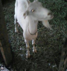 Коза дойная