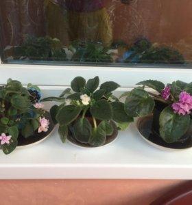 Цветы комнатные(фиалка)