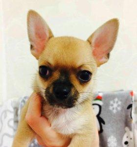 Гладкошерстный щенок чихуахуа мальчик