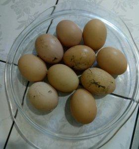 Яйцо свойское.