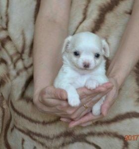 Длинношерстный щенок чихуахуа мальчик