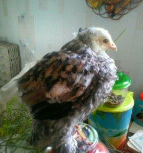 Цыплята 3-4 месяца