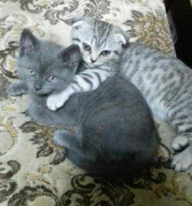 Котята британцы мальчик и девочка