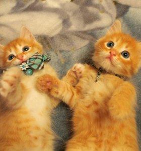 🐱Рыжие котята с голубыми глазами💙