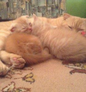 Котята британской вислоухой мальчик и девочка