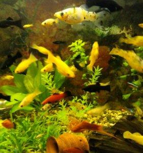 Малинезия черные, желтые, пятнистая
