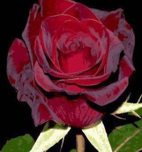 Раскраска по цифрам- бордовая роза