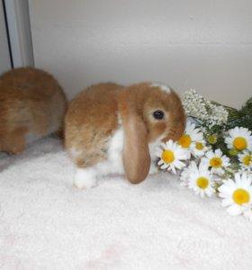Крольчата карликовые барашки