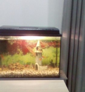Аквармум с золотыми рыбками