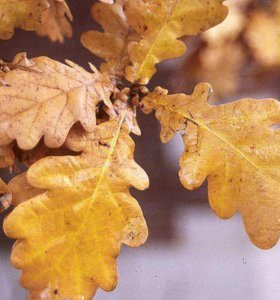 Дубовая листва