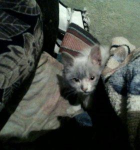 Кот качегар