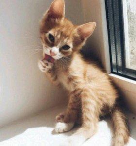 Рыжий котёнок (мальчик)