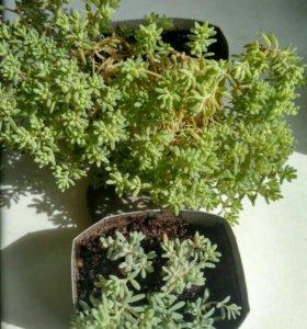 Растение почвопокровное.