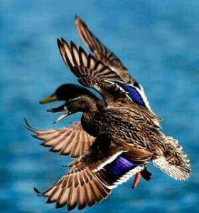 Дукие утки, гуси