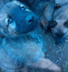 Крупные щенки-метисы