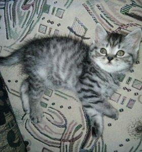 Котёнок прямоухий