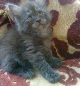 Красивый котёнок(мальчик) метис мей кун 1 мес