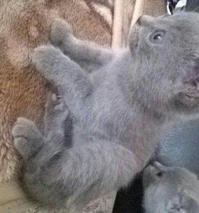 котята полубританцы