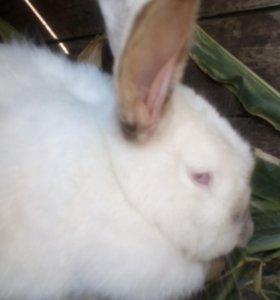 Продаются кролики калифорнийцы 3месячные .