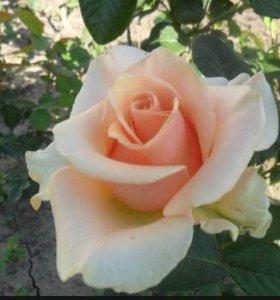 Взрослые кусты  роз