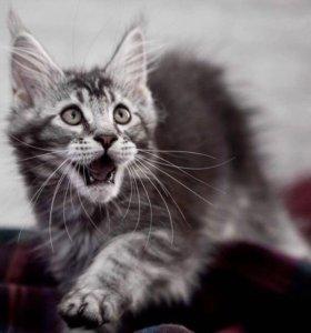 Котята мен-кун