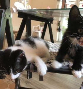 Котята породистые