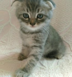 Британские котята полукровки