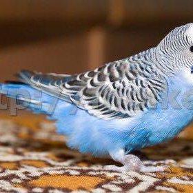 КУПЮ волнистого Попугая
