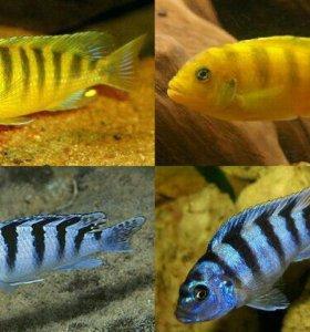 Аквариумные рыбы Ломбардо