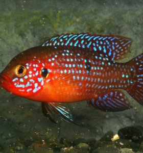 Аквариумная рыба Хромис красавец