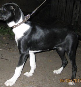 Гладкошёрстный щенок