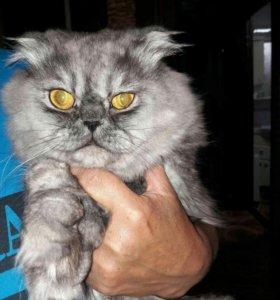 Продам персидского кота