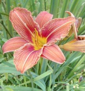 Деленки цветов многолетников