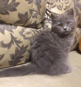 Британский котёнок.