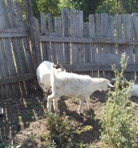 Зааненские козы 2 и 3 года, 2 козочки по 7 месяцев