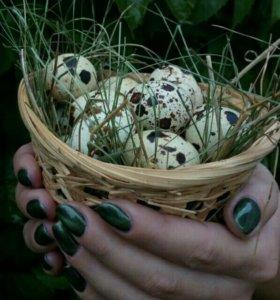 Перепелиные яйца домашние